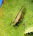 Myzocallis - Myzocallis walshii
