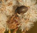 Shield-backed Bugs - Homaemus aeneifrons