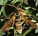 Paranthrene robiniae - female