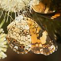 Group of crescents - Chlosyne nycteis