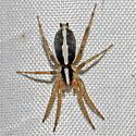 Cesonia bilineata - female