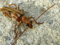 Long brown spotted beetle - Ortholeptura valida