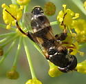 Syrphid on dill - Syritta pipiens