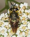 Bee on yarrow - Stratiomys badia - female