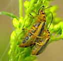 Goldenrod leaf beetle? - Trirhabda canadensis