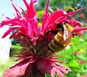 Large (queen?) bumble - perhaps uncommon - fervidus or borealis? - Bombus borealis