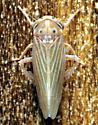 Agallia quadripunctata