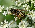 Hornet - Vespula vidua - male