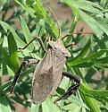 Assassin Bug - Acanthocephala femorata