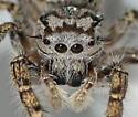 Salticidae - Phidippus mystaceus