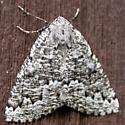 recent moth 3 - Enypia venata