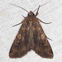 Varigated Cutworm Moth - Hodges #10915 - Peridroma saucia