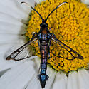 Unknown Clearwing - Synanthedon albicornis
