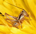 young Brown-spotted Bush-cricket  - Tessellana tessellata