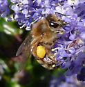honeybee - Apis mellifera - female
