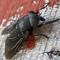 tabanid - Tabanus atratus - female