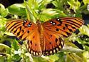 Butterfly Agraulis Vanillae? - Agraulis vanillae