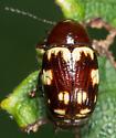 Cryptocephalus badius ? - Cryptocephalus badius