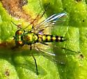 Hibiscus fly - Condylostylus - male
