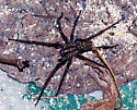 possibly a giant house spider? - Eratigena atrica