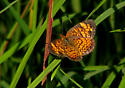 Butterfly ID - Phyciodes tharos - female