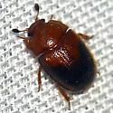 Nitidulidae ? - Pocadius helvolus