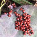 Potatoe beetle larvae look alike - Sehirus cinctus