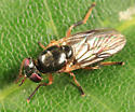 small fly - Allognosta