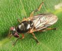 small fly - Allognosta