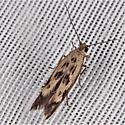 Scythris limbella - Chenopodium Scythris Moth - Scythris limbella