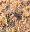 leaf footed bug Chariesterus? - Stachyocnemus apicalis