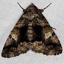 moth - Metria amella