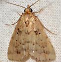 Common Arugisa - Arugisa lutea