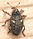 Weevil - Eubulus bisignatus