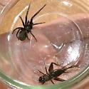 Kukulcania hibernalis, Southern House Spider - Kukulcania arizonica - female