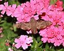Unknown Sphinx Moth - Enyo lugubris