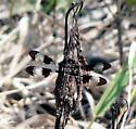 Dragonfly - Plathemis lydia