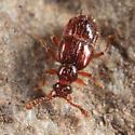 Pselaphin - Decarthron longulum - female