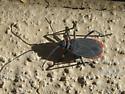 Bug ID? - Jadera haematoloma