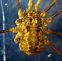 Rilaena triangularis - male