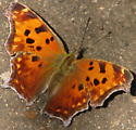 A butterfly - Polygonia comma