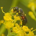 Aculeata - Ants, Bees and Stinging Wasps - Hylaeus ornatus