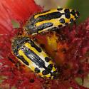 Ladder-like Flower Buprestid - Acmaeodera scalaris