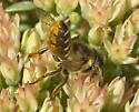 Small bees - Megachile