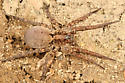 large wolf spider - Gladicosa gulosa - female