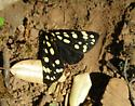 unknown butterfly - Arctia virginalis