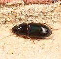 Green-tinged ground beetle - Selenophorus