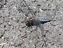Dragonfly 11 - Ladona deplanata