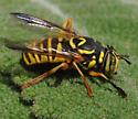 Spilomyia interrupta - female