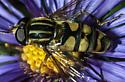 Syrphid Helophilus - Helophilus fasciatus